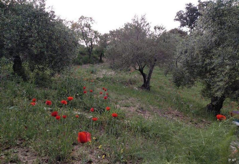 PLANTAS MEDICINALES: aMAPOLA